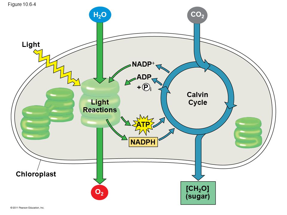 Calvin Cycle Light Reactions [CH2O] (sugar)